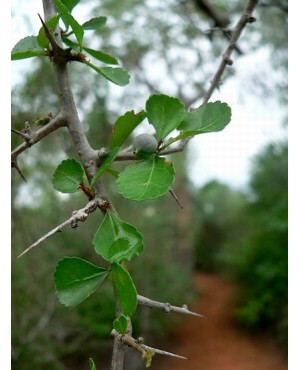Commiphora spp